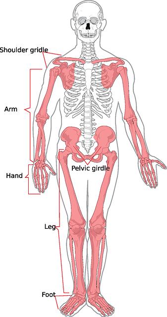 pixabay_skelett